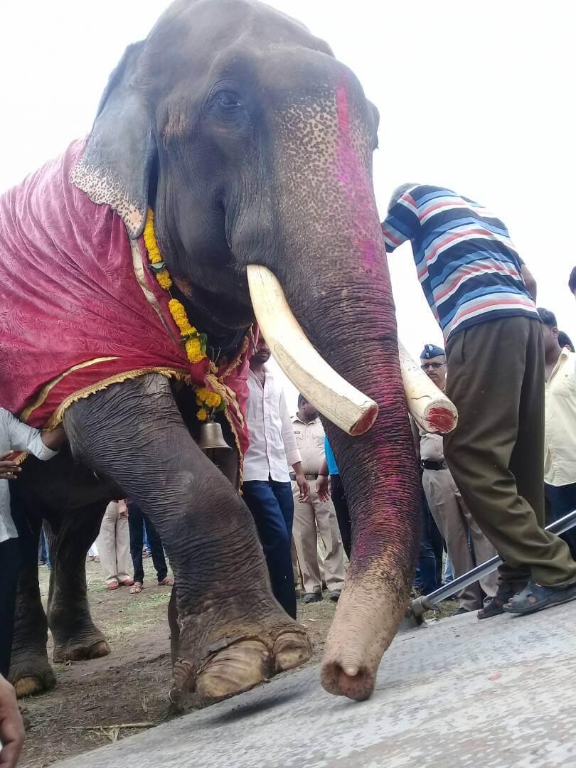 Gajraj the elephant's first steps towards freedom