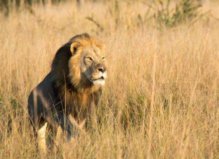 Xanda, Cecil the lion's son