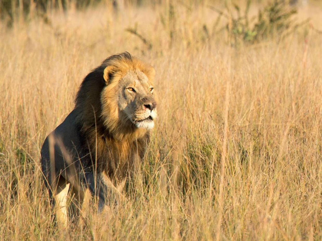 Xanda, Cecil the lion's son